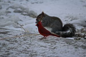 cardinal and squirrel