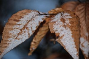 contrast beech leaves