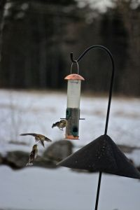 goldfinches, mid air squawk