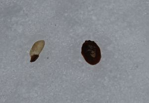 hemlock scale and seed