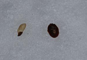hemlock seed and scale