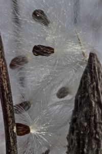 milkweed 2