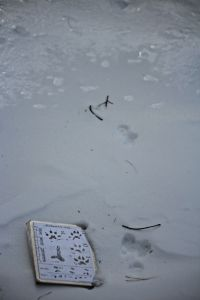mink tracks 1
