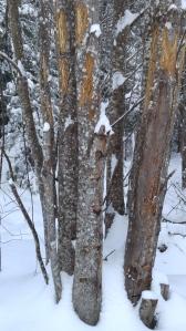 moose scrapes