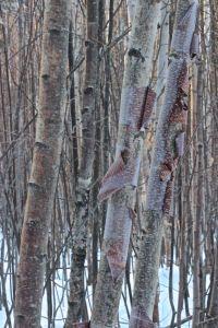 paper birch 1