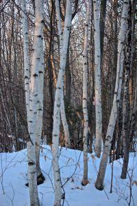 paper birch 3