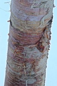 paper birch rainbow