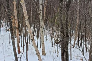 paper birch, white birch and cherry