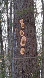 pileated tree, Heald Pond