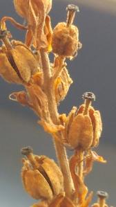 pinesap 2