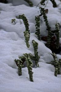 polypody frozen