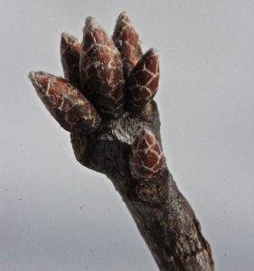 red oak buds 2
