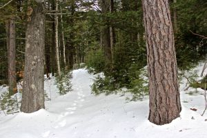 red pine and white pine