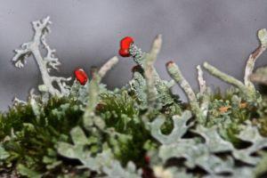 root lichen