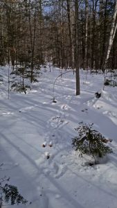 snowshoe hare convention_2