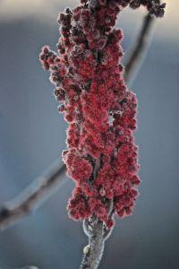 staghorn sumac1