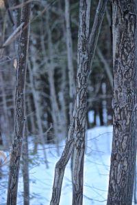striped maple scrapes