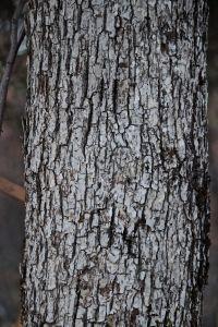 white oak 3