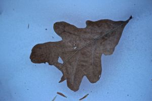 white oak leaf