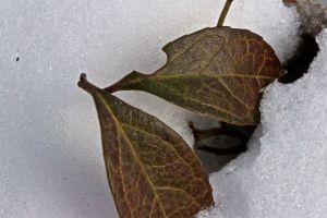 wintergreen leaves