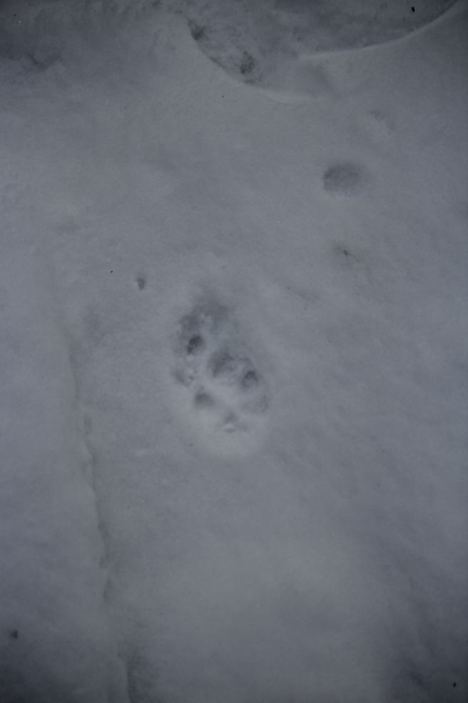 Can someone do my essay snowshoe tracks