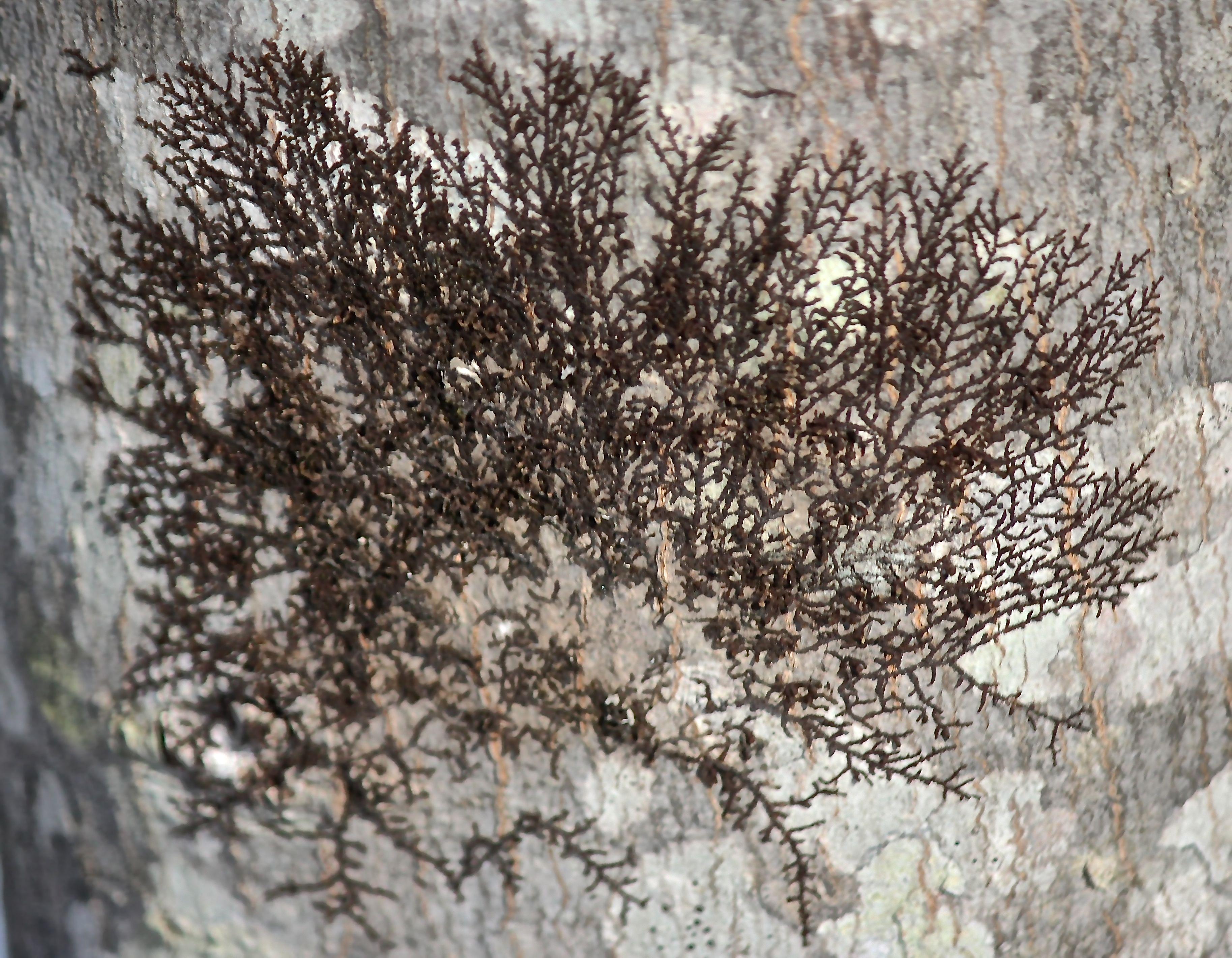 h-frullania 1 on red oak