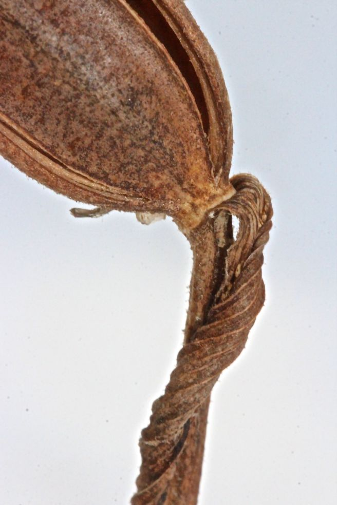 h-lady's bract at base of pod