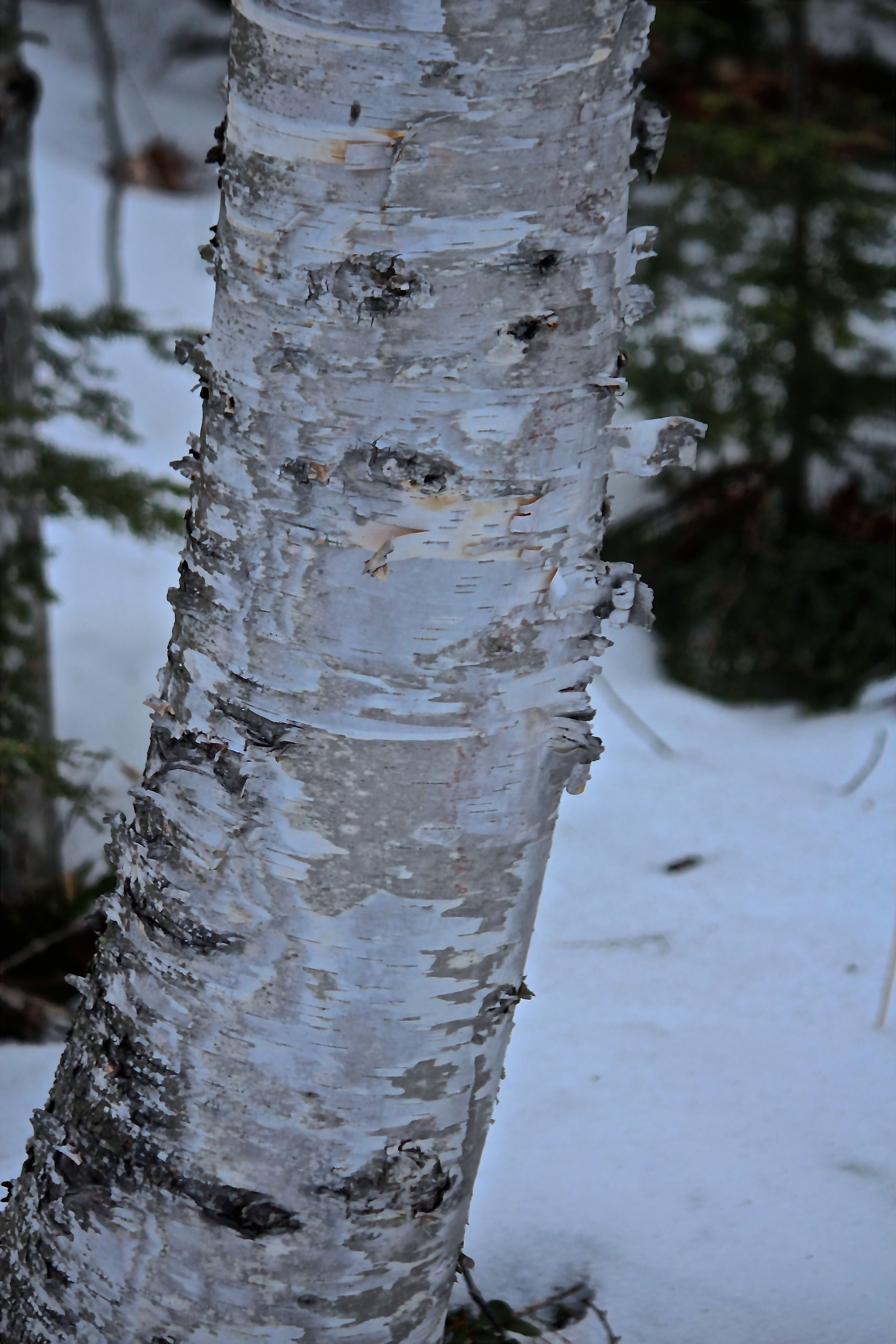 h-paper birch blue