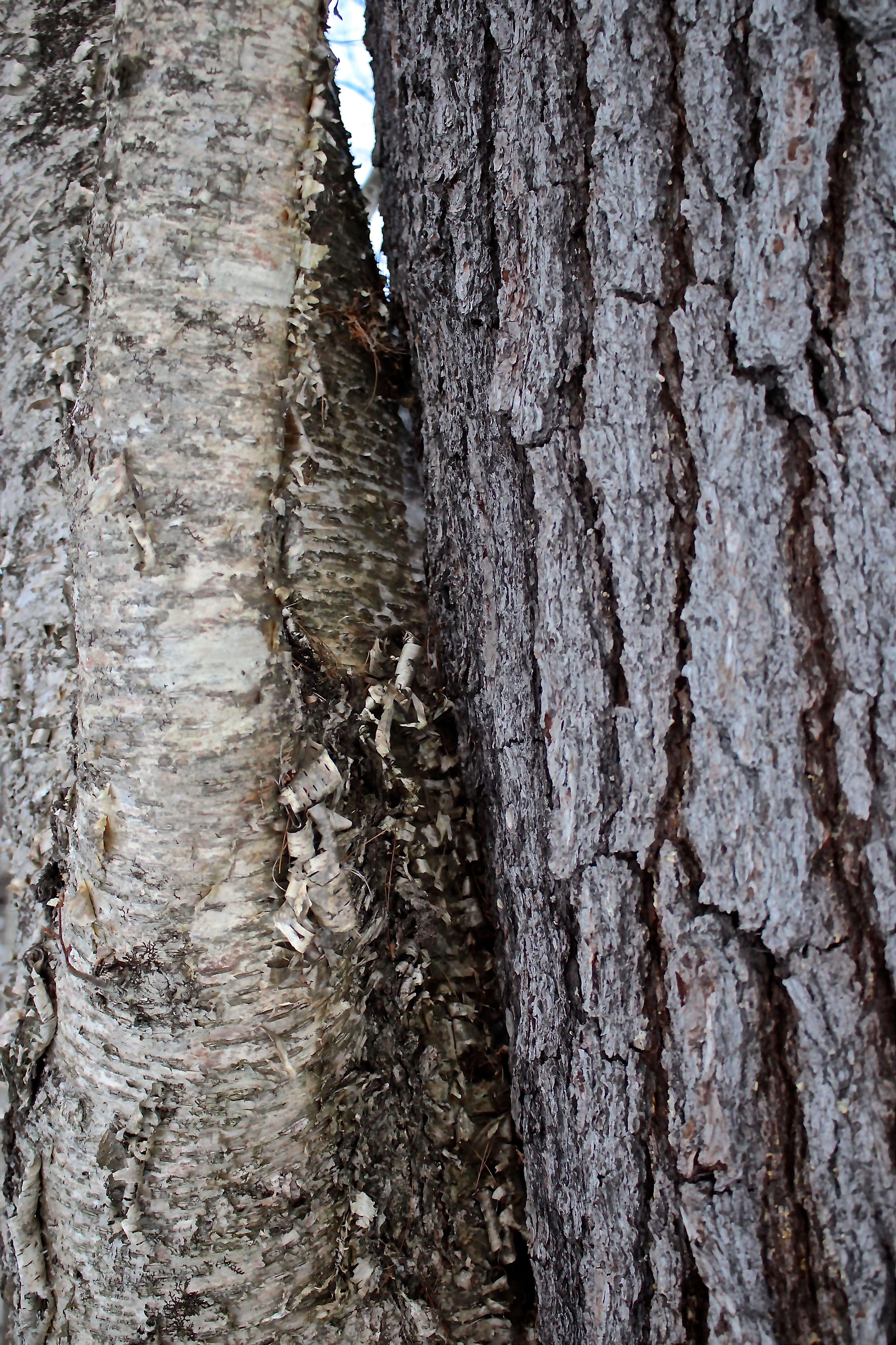 h-yellow birch:white pine