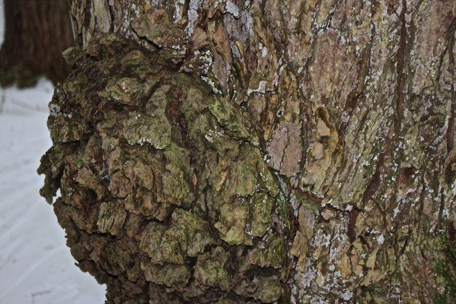 hemlock gall rosette