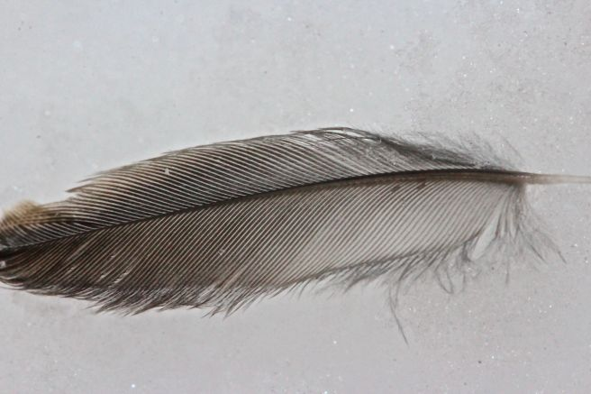 junco feather