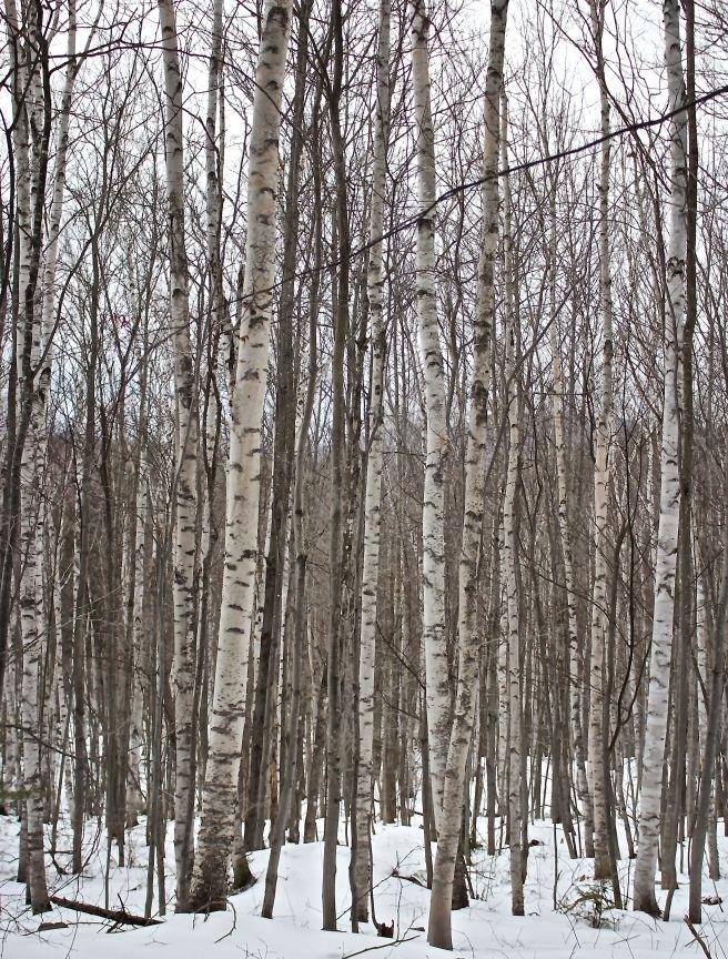 l-birches 2