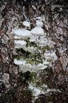 ledges mossy maple
