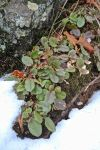ledges trailing arbutus