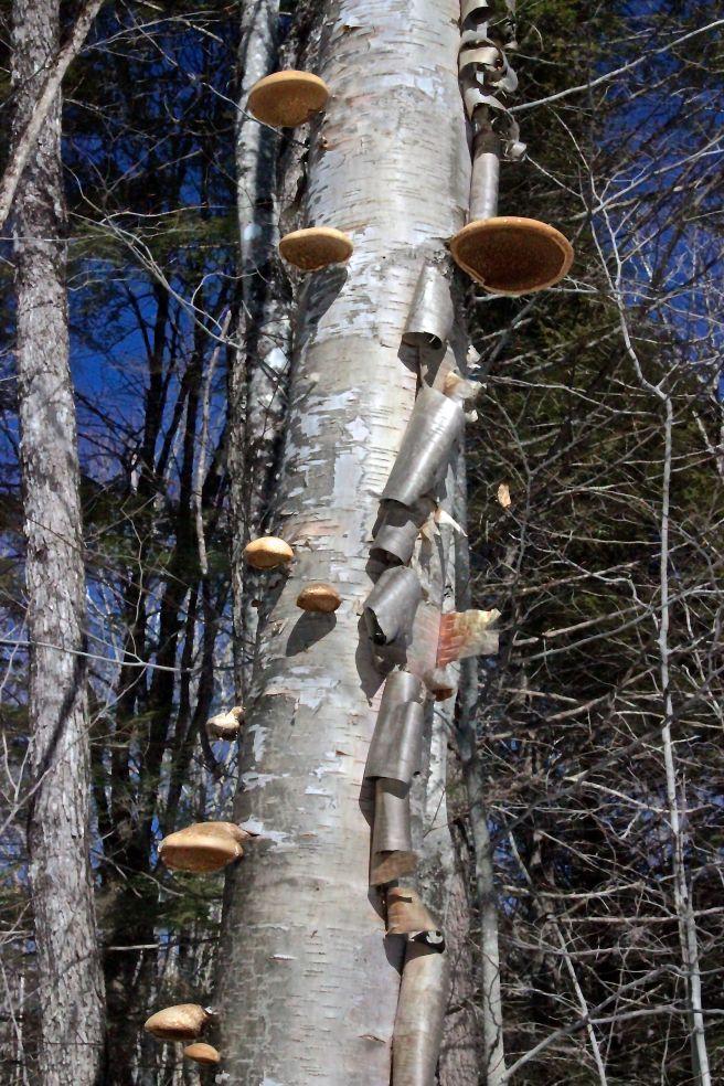 m-birch polypores