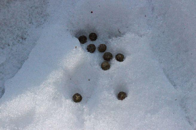 m-snowshoe hare scat