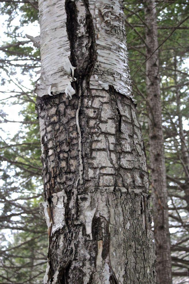 paper birch under bark