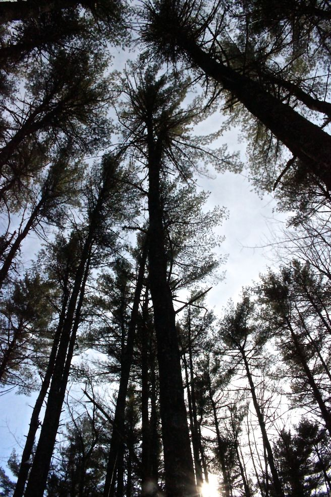 pines above