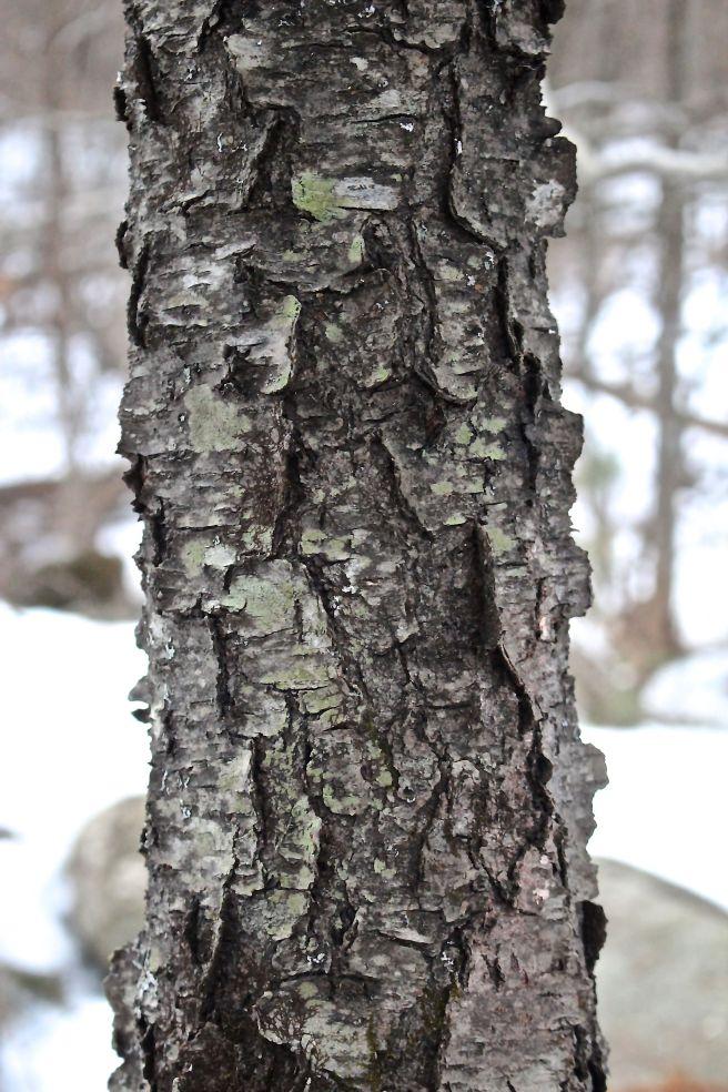 r-cherry bark