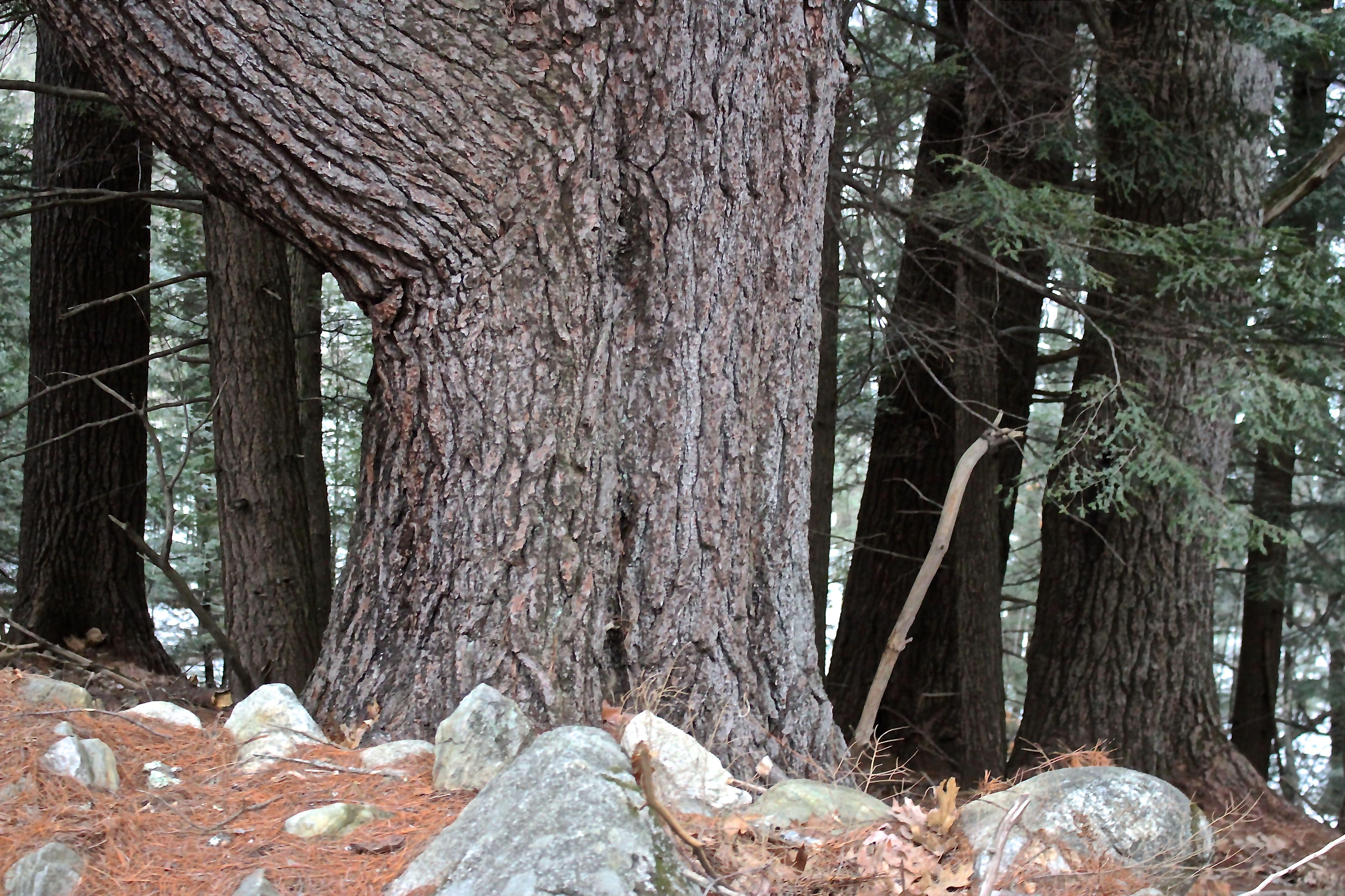 r-large pine