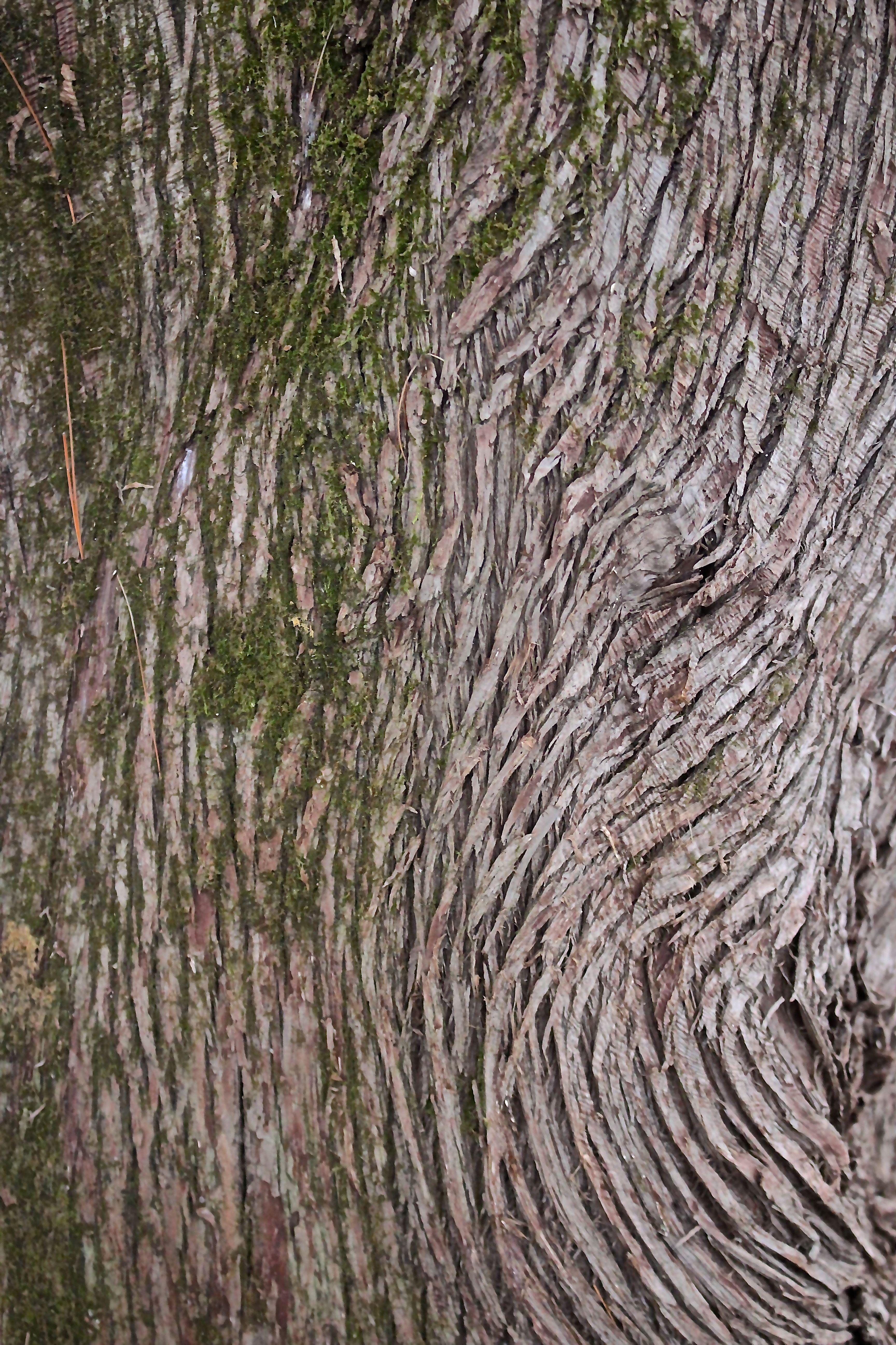 r-northern white bark2