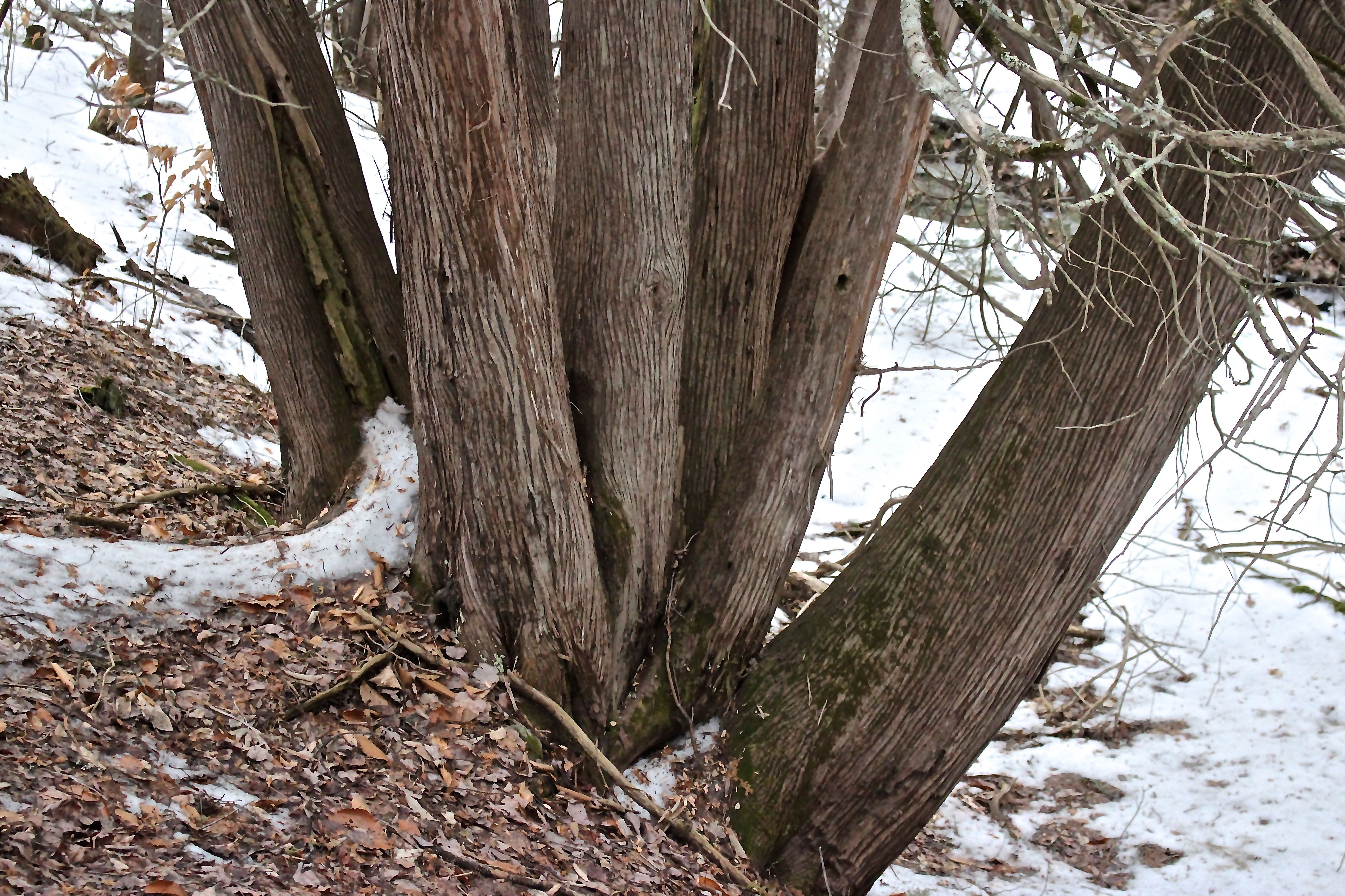 R-Northern White Cedar