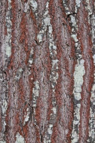 r-red oak 2