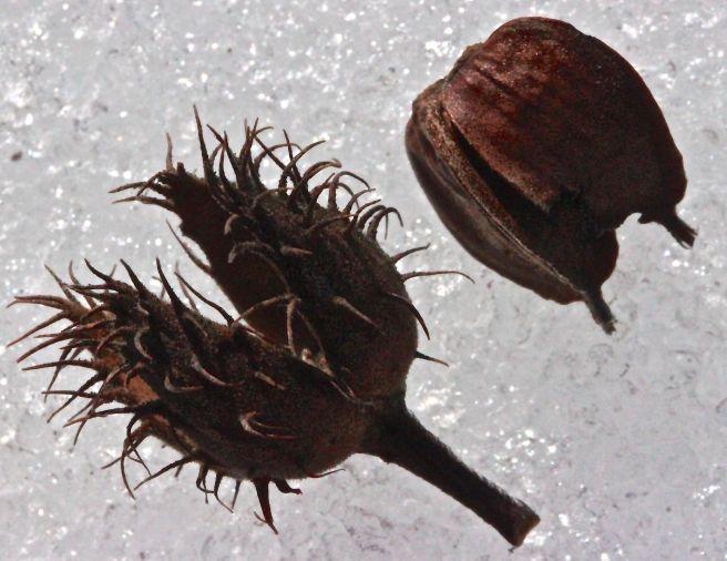 SB-beech nut1