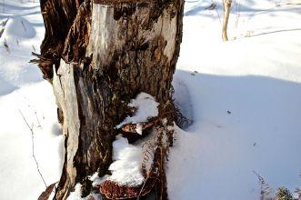 SB-hemlock stump:scat