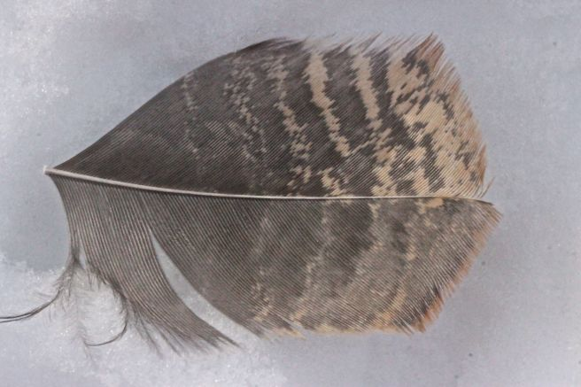 snipped feather