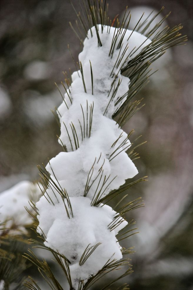 snow pine needles