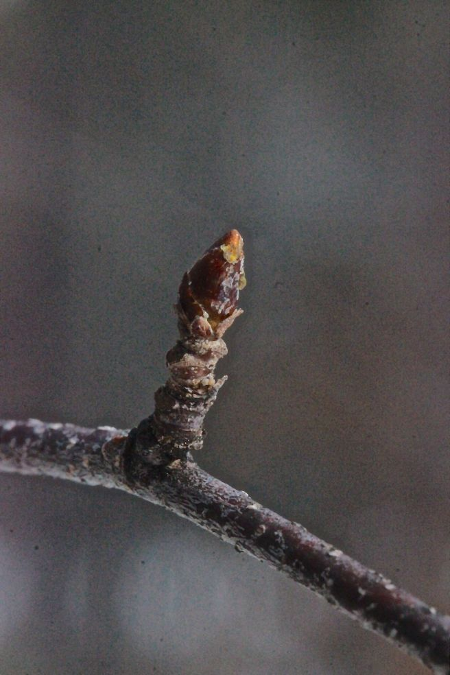 w-gray birch bud
