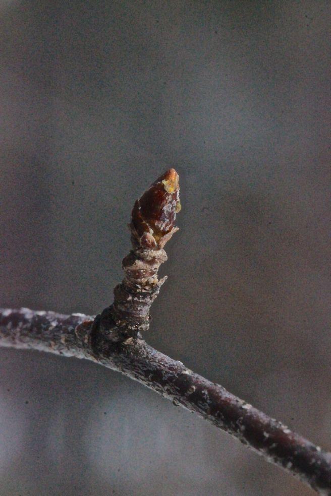 w-gray birch bud