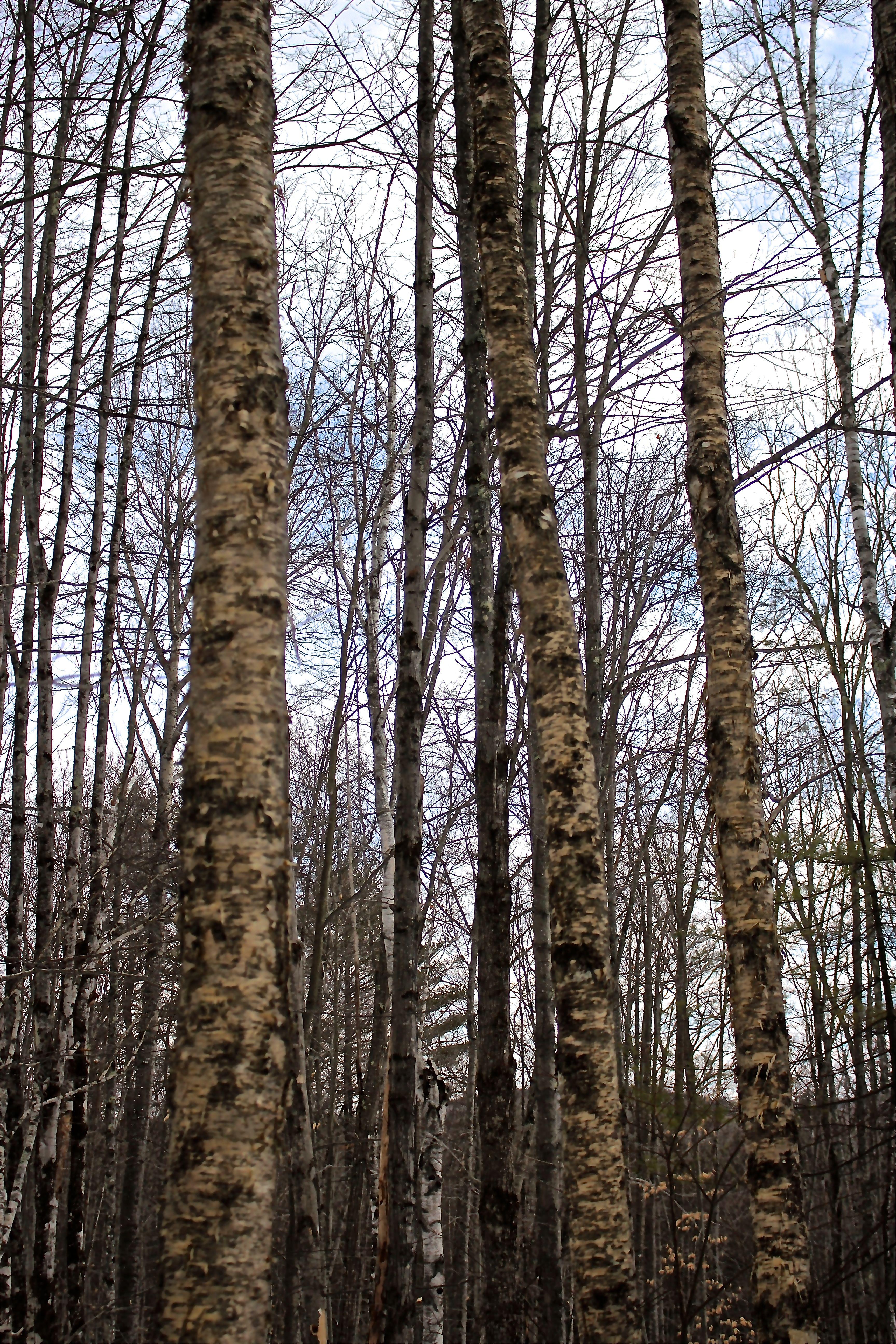 a-3 birch